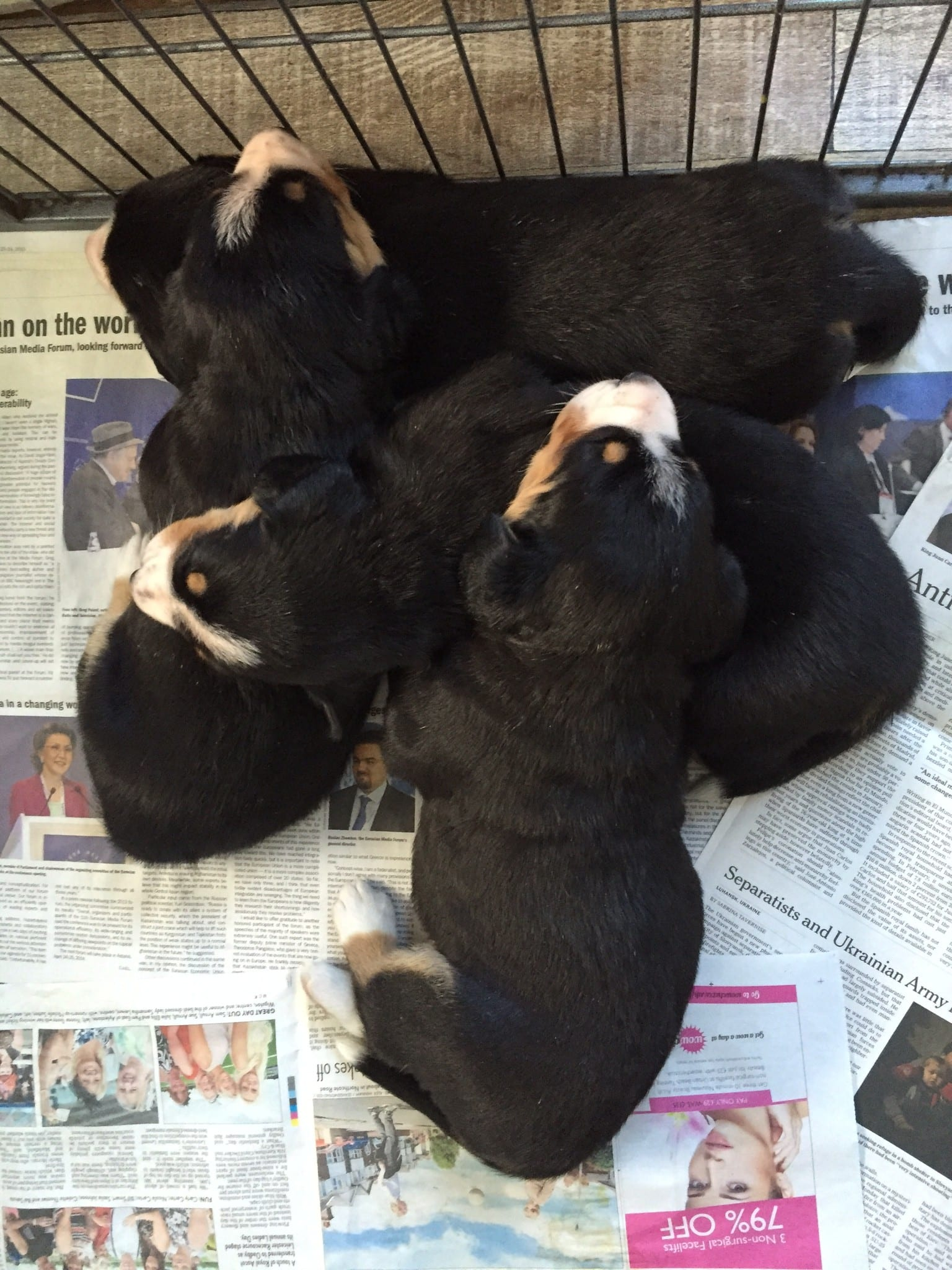 A pile of puppies - Duchess on top, D'Artagnan at the bottom